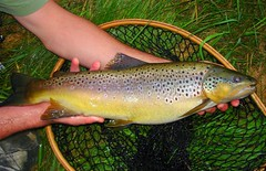 Fat female brown trout
