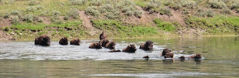 zwemmende bizons