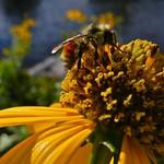 美國地質調查局發現導致蜜蜂死亡的新菸鹼類殺蟲劑在中西部河流中分佈廣泛。攝影:Bob Berwyn。