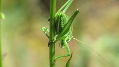 animal, cricket-like insect, plant, invertebrate, macro photography, mantis, flora, grasshopper, green, fauna, close-up, plant stem,