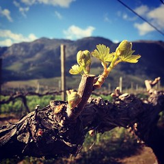 Spring is in the air! First sign of new life on the farm. #budbreak #chardonnay #stellenbosch