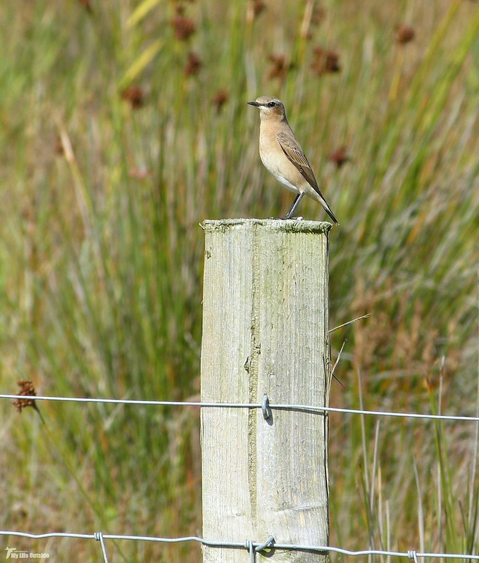 P1080686_2 - Wheatear, Whiteford