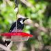 Small photo of Acorn Woodpecker, Melanerpes formicivorus