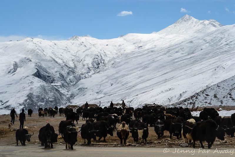 A herd of yaks near Ganden Monastery