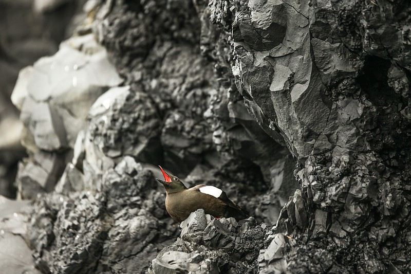 Black guillemot bird