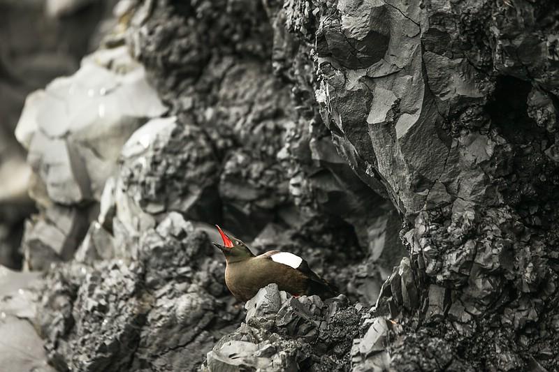 Black guillemot bird