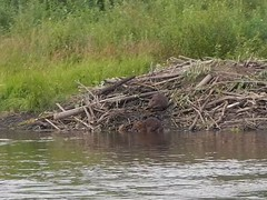 wetland, animal, river, fauna, muskrat, beaver, pond, marsh, wildlife,