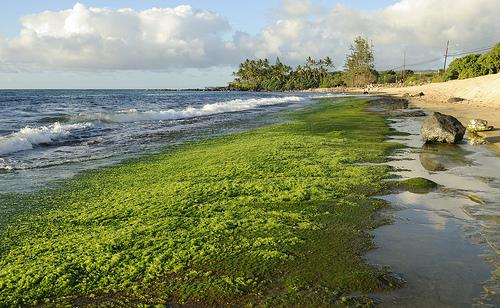 藻華在淡水和海水中均有可能發生,即便有時藻華並未產生有毒物質,但仍對環境造成危害。 圖片來源: Daniel Ramirez