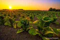 Tobacco In The Field