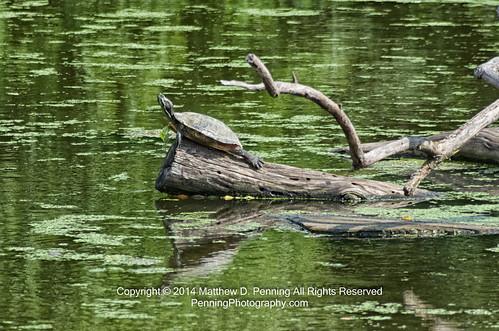 Upward Facing Turtle