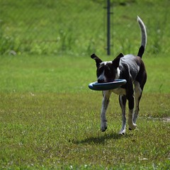 This is Nova. She fetches multiple frisbees at the same time.