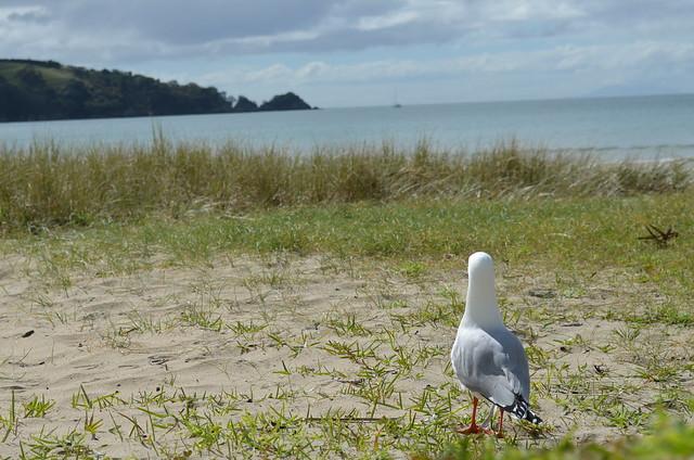 Seagull | Waiheke Island