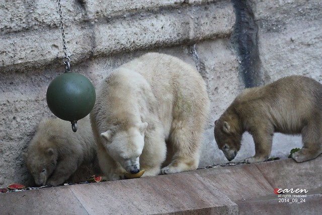 Eisbären Giovanna Nela & Nobby 2014_09_24 019
