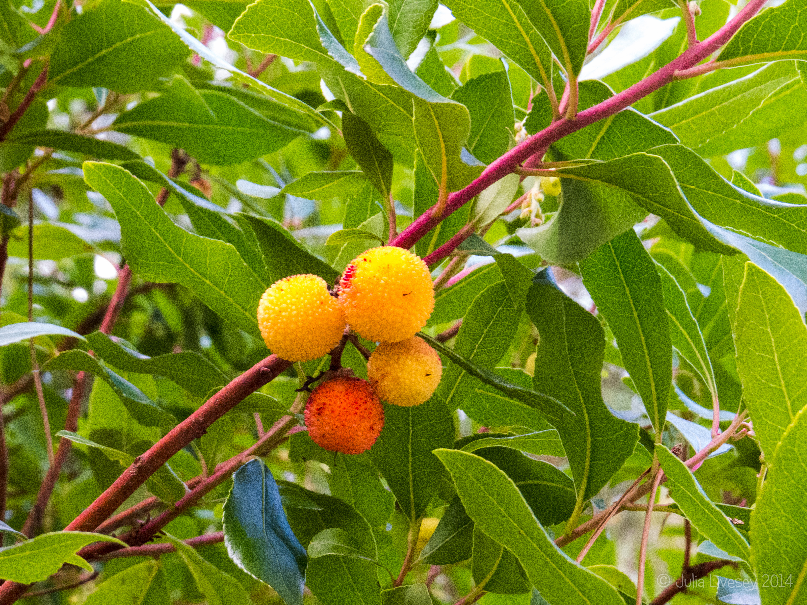 The strawberry tree is bearing fruit