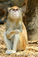 Patas Monkey Looking Frowny
