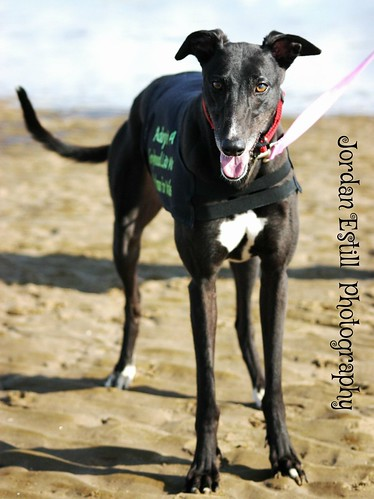 Magic- soppy black female hound looking for a home! 15216990450_1a8bb96265