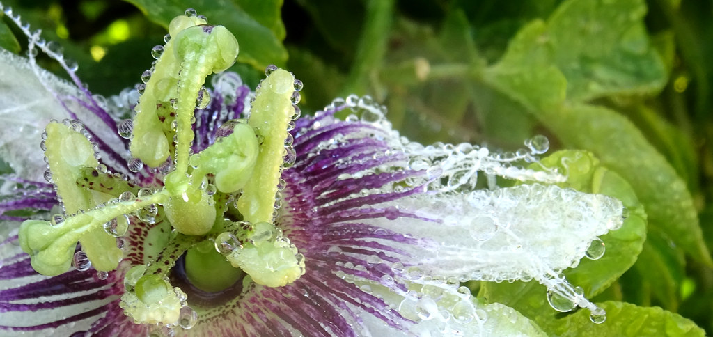 passionflower interior, with raindrops