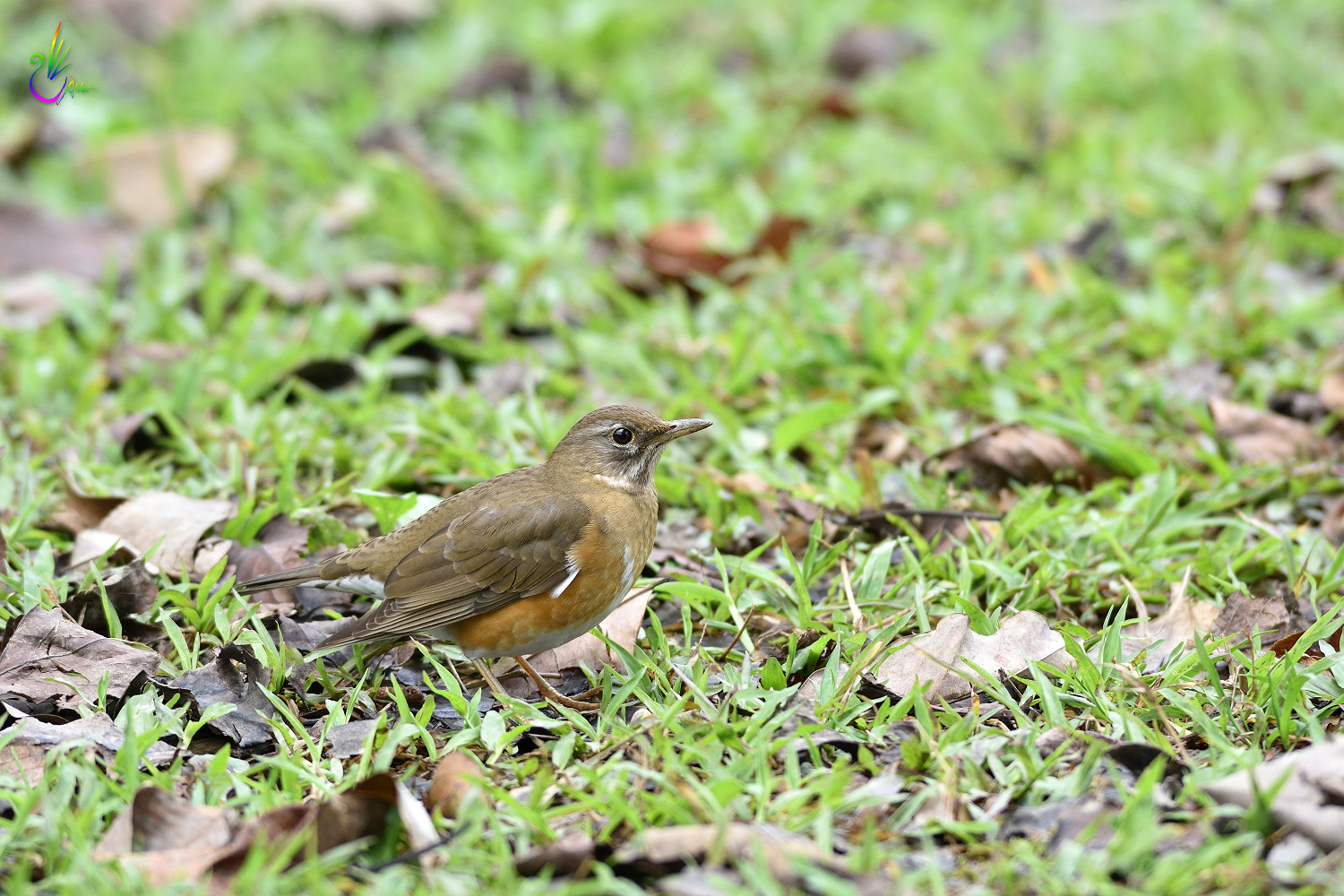 Brown_Thrush_6588