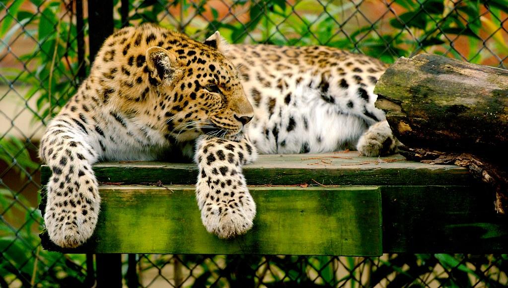 Leopard_4