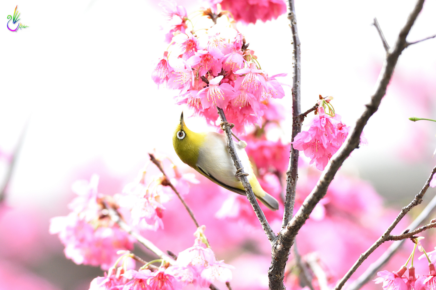 Sakura_White-eye_8024