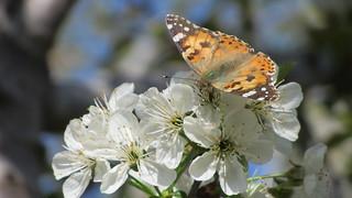 Butterfly - Alamut