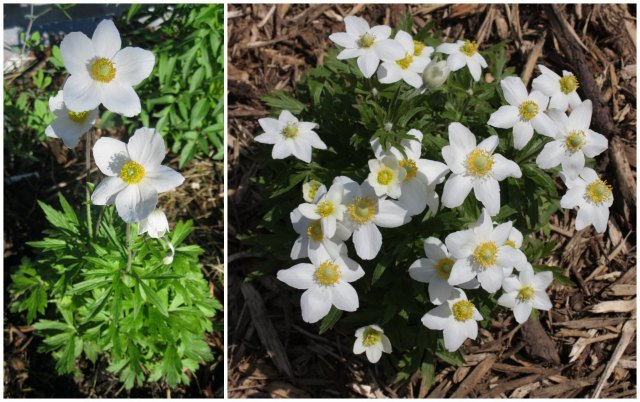 snowdrop anemone comparison: 2013 vs. 2014
