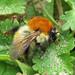 Bombus pascuorum ssp. flavidus (Jersey Carder-bee)