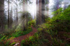 The California Redwoods
