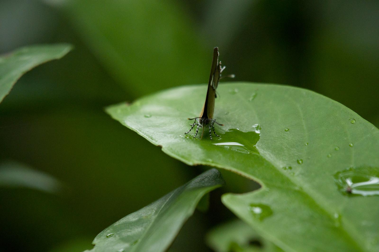 姬三尾小灰蝶