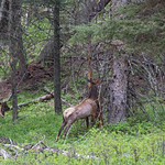 Elk on Beaver Pond Trail