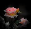Rose Glow 1