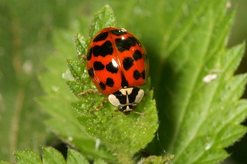 Harlequin ladybird (Harmonia axyridis)