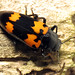 Pleasing Fungus Beetle - Photo (c) Katja Schulz, some rights reserved (CC BY)