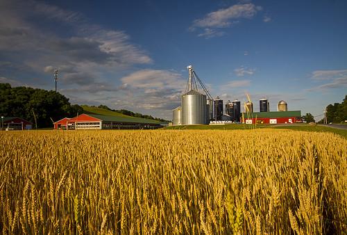 ny canon peace farm wheat farming july peaceful cny 2014 elbridge elbridgeny hourigansdairyfarm