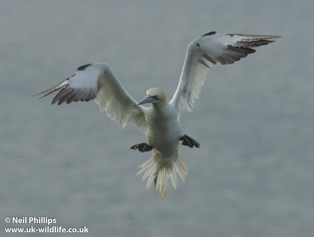 gannet angel - cloned corner