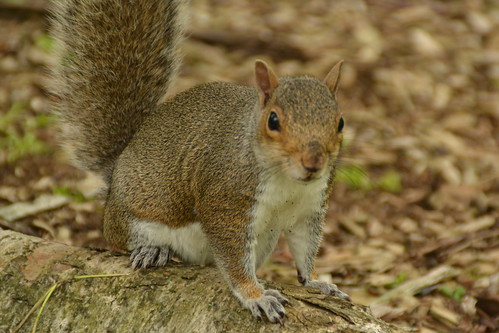 462 - Edinburgh - botanic gardens - Squirrel