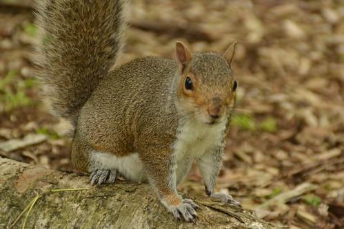 462 - Edinburgh - botanic gardens - Squirrel