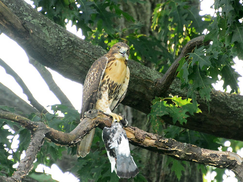 Juvenile Cathedral Hawk & Prey - 3912