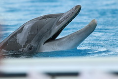 animal, marine mammal, common bottlenose dolphin, marine biology, short-beaked common dolphin, dolphin, spinner dolphin, rough-toothed dolphin,