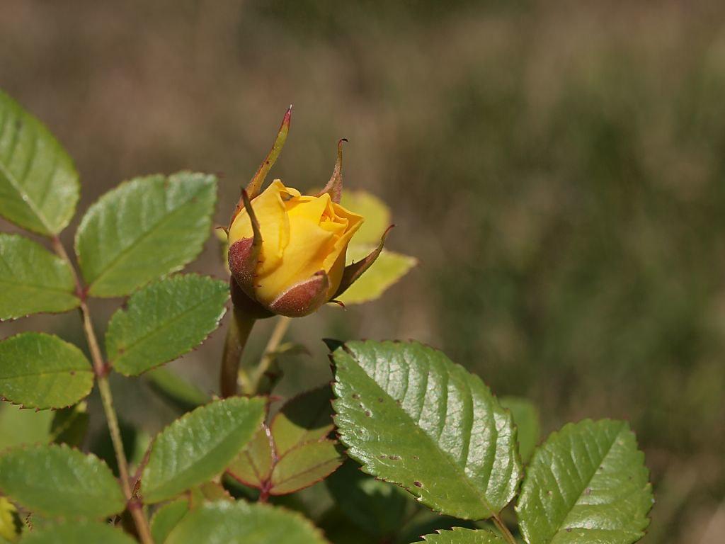 Blütenknospe auf unserer Terrasse
