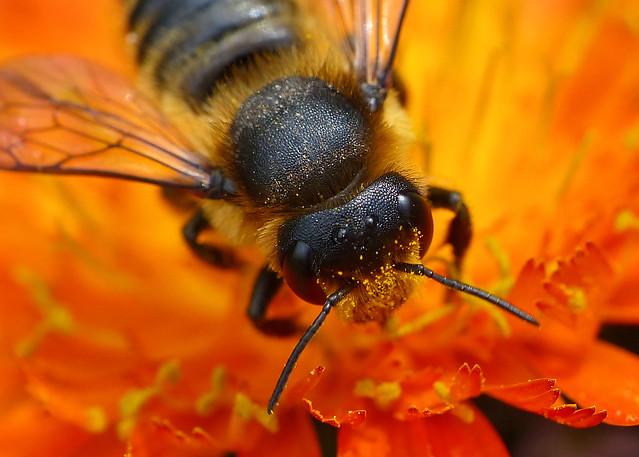 Leaf-cutter Bee (megachile centuncularis)