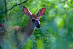 fawn ~ Alex Dow Field (Tall Grass Prairie), Nichols Arboretum, Michigan