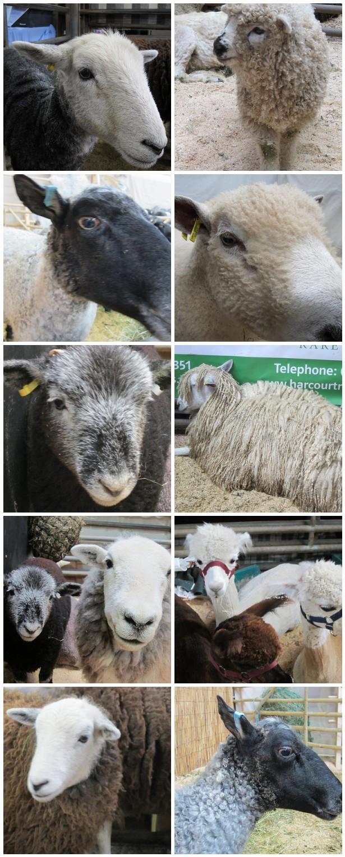 Woolfest 2014 sheep
