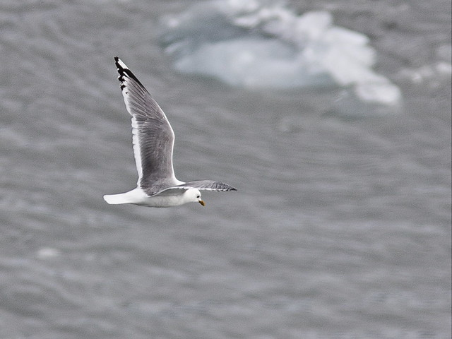 Black-legged Kittiwake 20140619