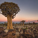 quiver tree, Namibia by Anne.Berger