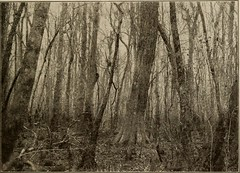 """Image from page 56 of """"Trees of Texas; an illustrated manual of the native and introduced trees of the state"""" (1915)"""