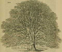 "Image from page 710 of ""Arboretum et fruticetum Britannicum; or, The trees and shrubs of Britain, native and foreign, hardy and half-hardy, pictorially and botanically delineated, and scientifically and popularly described; with their propagation, culture"