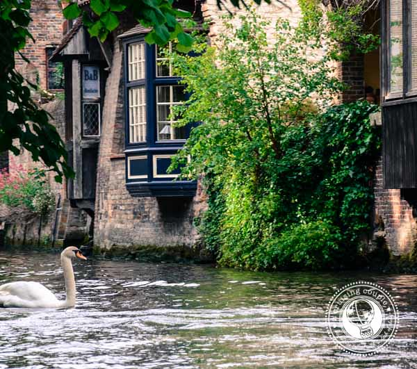 Swan in the Canal in Bruges Belgium