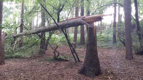 Snapped tree at Moor Park #sh
