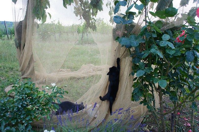 tuscan cats
